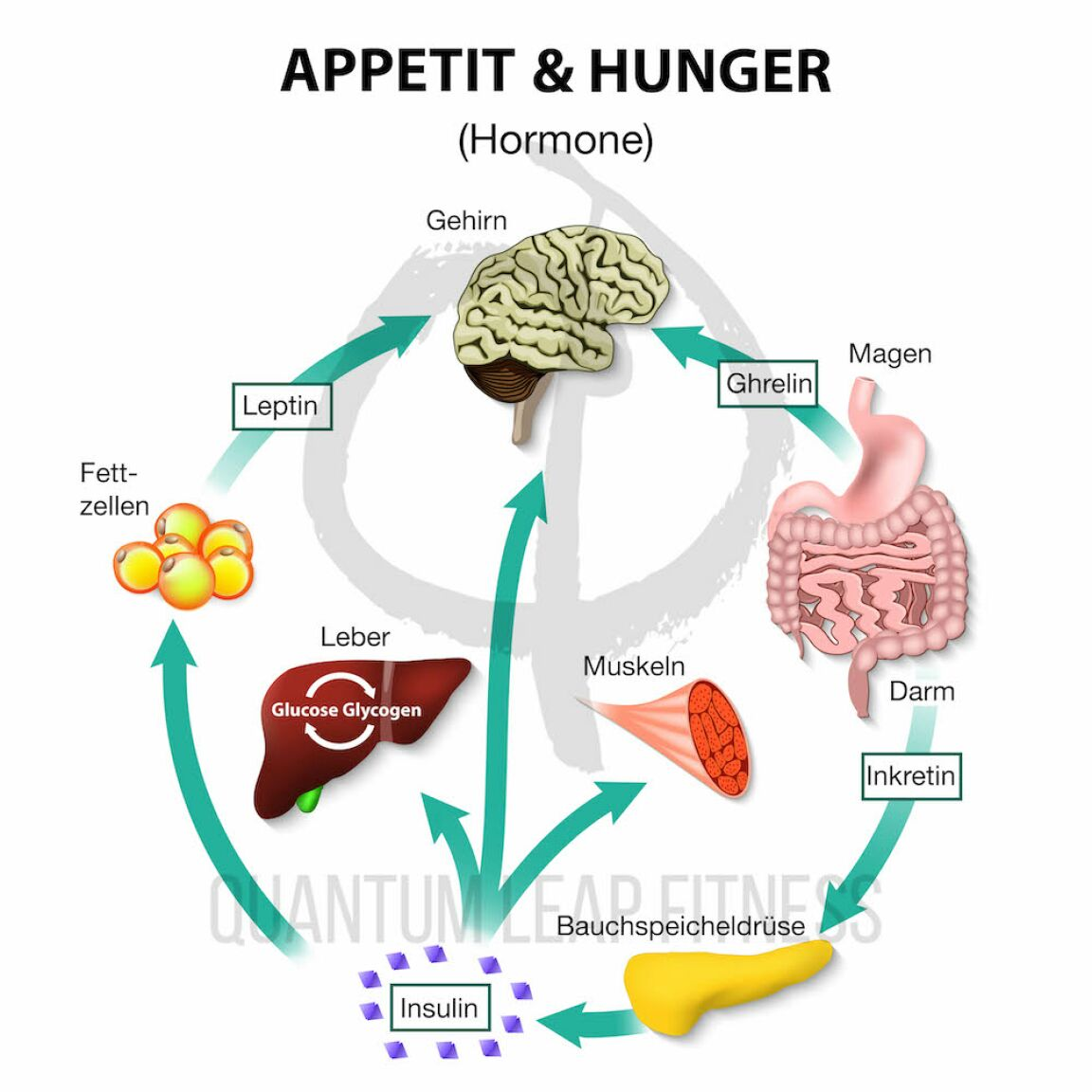 Hormones,Appetite,And,Hunger.,Human,Endocrine,System.,Incretin,,Ghrelin,,Leptin